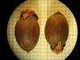 Reinhardtia simplex (H. Wendl.) Drude ex Dammer, Honduras, C. von Hagen 1381, F