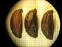 Chamaedorea oblongata Mart., Honduras, A. Molina R. 3474, F