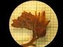 Xiphidium caeruleum Aubl., Nicaragua, Frère A. Garnier 1647, F