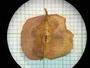 Combretum fruticosum (Loefl.) Stuntz, British Honduras [Belize], P. H. Gentle 418, F