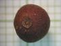Eugenia foetida Pers., British Honduras [Belize], W. A. Schipp 427, F