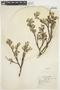 Salix glauca L., U.S.A., E. H. Looff 909, F