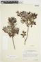 Salix glauca L., Canada, J. W. Thieret 5027, F