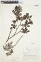 Salix glauca L., Canada, J. W. Thieret 6840, F