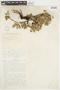 Salix glauca L., U.S.A., F. Tweedy 19, F