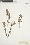 Salix glauca L., L. Forelius, F