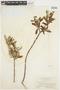 Salix glauca L., U.S.A., W. A. Setchell 541, F
