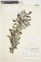 Salix glauca L., Canada, J. W. Thieret 4963, F
