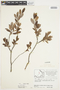 Salix glauca L., Canada, J. W. Thieret 6881, F