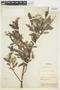 Salix glauca L., U.S.A., F