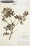 Salix glauca L., Canada, J. W. Thieret 5349, F