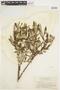 Salix glauca L., U.S.A., W. A. Setchell 407, F