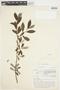 Salix glauca L., Canada, J. W. Thieret 5312, F