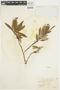 Salix glauca L., U.S.A., W. S. Cooper 149, F