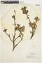 Salix glauca L., U.S.A., E. H. Looff 906, F