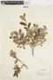 Salix glauca L., Canada, N. V. Polunin 1886, F