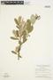 Salix glauca L., Canada, W. J. Cody 8636, F