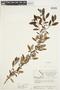 Salix glauca L., Canada, J. W. Thieret 6642, F