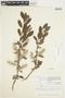 Salix glauca L., Canada, J. W. Thieret 6038, F