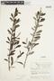 Salix glauca L., Canada, J. W. Thieret 6662, F