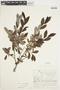 Salix glauca L., Canada, J. W. Thieret 7571a, F