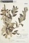 Salix glauca L., Canada, J. W. Thieret 8014, F