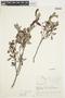 Salix glauca L., Canada, J. W. Thieret 6827, F