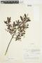 Salix glauca L., Canada, J. W. Thieret 4728, F