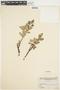 Salix glauca L., Canada, H. M. Raup 4420, F