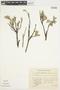 Salix glauca L., U.S.A., O. E. G. Hultén, F