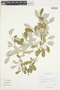 Salix glauca L., Canada, W. J. Cody 14492, F