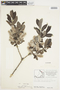 Salix glauca L., Canada, J. W. Thieret 7915, F