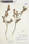 Salix glauca L., Canada, J. W. Thieret 7387, F
