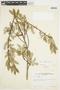 Salix glauca L., Canada, J. W. Thieret 4294, F