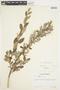 Salix glauca L., Canada, J. W. Thieret 4404, F