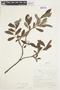 Salix glauca L., Canada, J. W. Thieret 6752, F