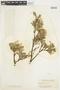 Salix glauca L., U.S.A., F. V. Coville 1800, F