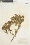 Salix glauca L., Canada, W. A. Setchell 359, F