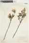 Salix glauca L., U.S.A., W. A. Setchell 72, F
