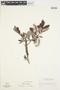 Salix glauca L., Canada, R. A. Evers 84176, F
