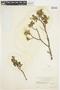 Salix glauca L., U.S.A., W. A. Setchell 25, F