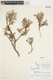 Salix glauca L., Canada, J. W. Thieret 9382, F