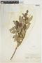 Salix glauca L., U.S.A., W. A. Setchell 43, F