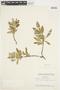 Salix glauca L., Canada, W. I. Findlay 218, F