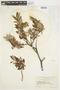 Salix glauca L., U.S.A., W. A. Setchell 171, F