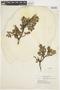 Salix glauca L., U.S.A., E. H. Looff 928, F