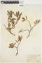 Salix glauca L., U.S.A., W. S. Cooper 178, F