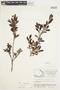 Salix glauca L., Canada, J. W. Thieret 6602, F