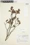 Salix glauca L., Canada, J. W. Thieret 4795, F