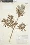 Salix glauca L., Canada, J. W. Thieret 4952, F